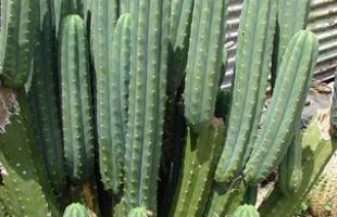 Algumas espécies de plantas são muito resistentes e de cuidados simples, consideradas anuais, perenes e sustentáveis. Na foto, cacto mandacaru