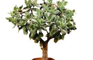 Algumas espécies de plantas são muito resistentes e de cuidados simples, consideradas anuais, perenes e sustentáveis. Na foto, crássula