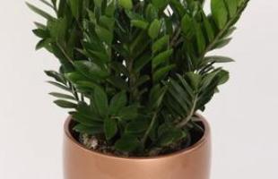 Algumas espécies de plantas são muito resistentes e de cuidados simples, consideradas anuais, perenes e sustentáveis. Na foto, zamioculca