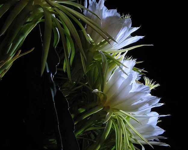 Dama-da-noite pode ser cultivada sob sol pleno ou meia-sombra e n�o exige regas constantes (Reprodu��o/Internet/Foto: Claudia Musso)