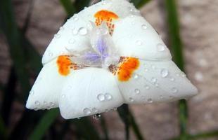 Algumas espécies de plantas são muito resistentes e de cuidados simples, consideradas anuais, perenes e sustentáveis. Na foto, moreia